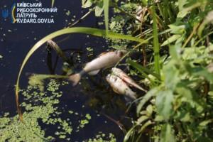 мор риби рось, мор риби біла церква, загибель риби в річці рось, загибель риби в білій церкві